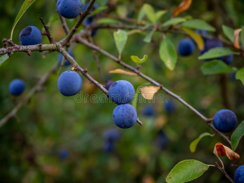 Close up of wild blue berries in the forest royalty free stock photo