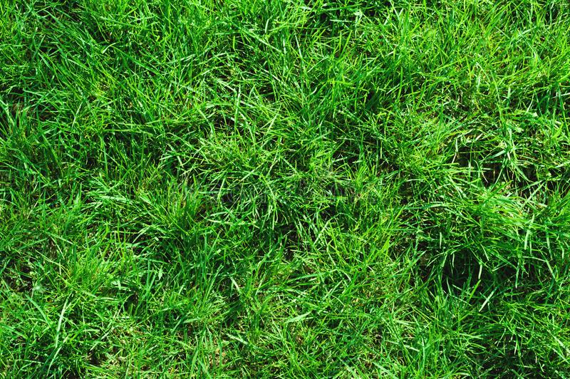 Close-up of uncultivated wild green lawn. View from above. Green juicy grass background for spring and summer royalty free stock image