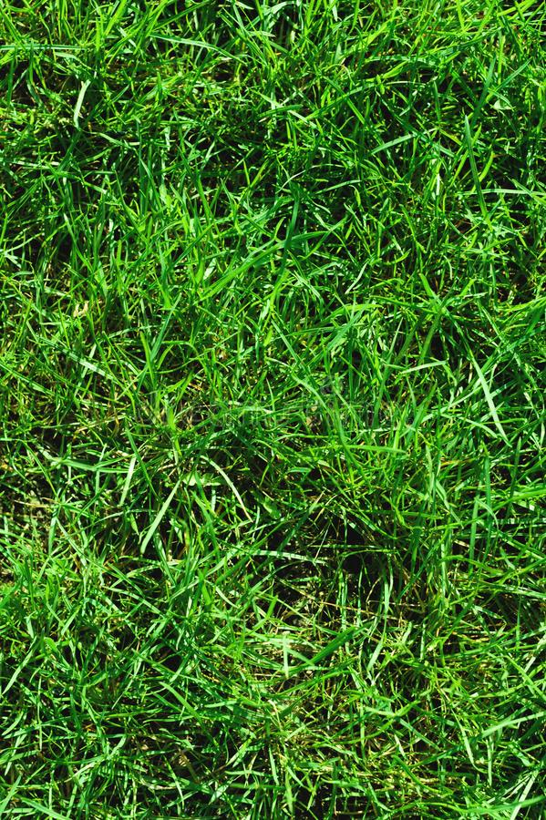 Close-up of uncultivated wild green lawn. View from above. Green juicy grass background for spring and summer stock photo