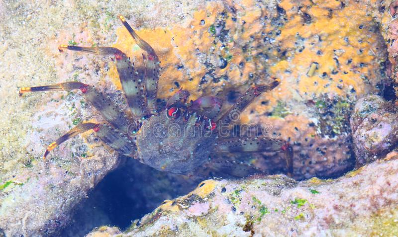 Close up of Underwater Dark Green Crab with Red Eyes among Coral Reef - Marine Life at Andaman Nicobar Islands, India. This is a photograph of underwater dark stock images