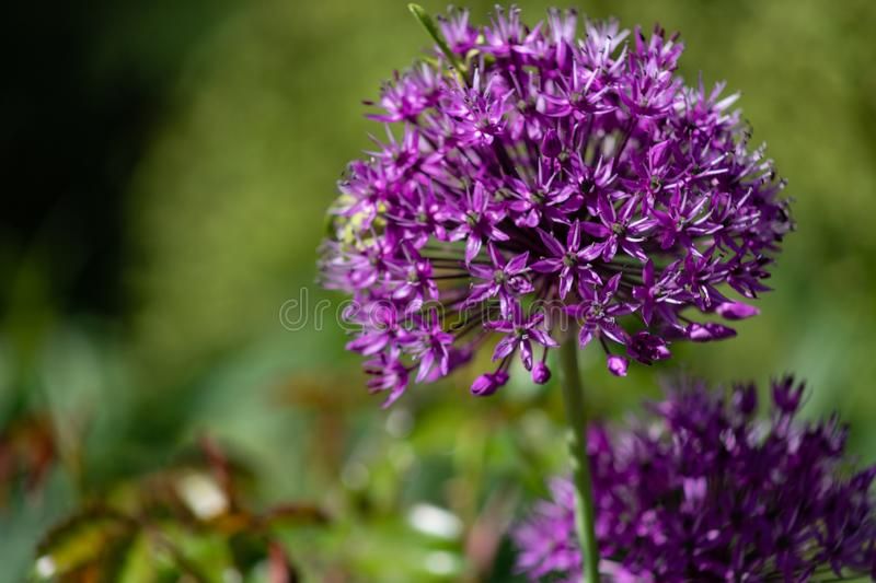 Close-up of unusual beautiful onion flowers on a summer field. Alley allium giganteum stock photos