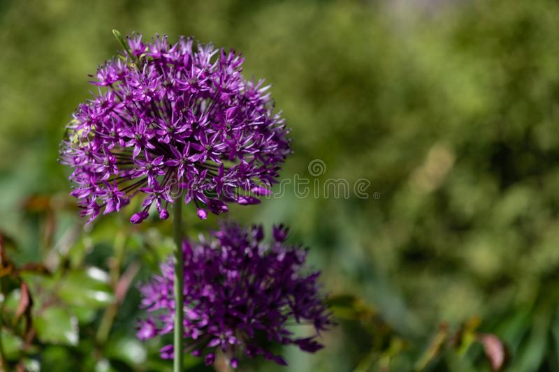 Close-up of unusual beautiful onion flowers on a summer field. Alley allium giganteum royalty free stock photo