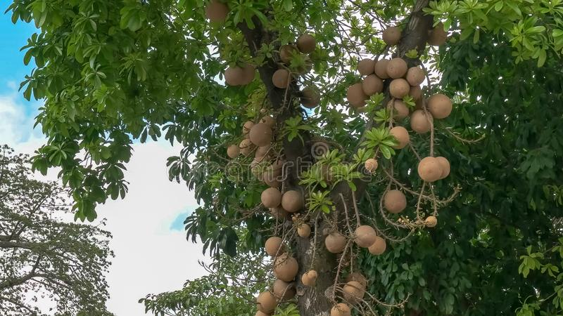 Cannonball tree growing in rio de janeiro, brazil. Close up of the unusual cannonball tree growing on a tree in rio de janeiro, brazil royalty free stock photos