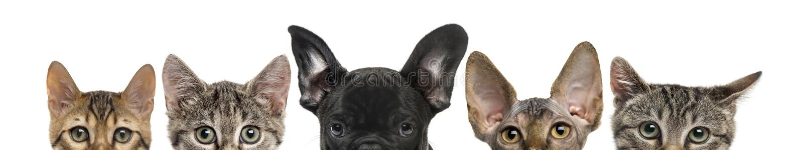 Close-up of upper heads of cats and dog. Isolated on white royalty free stock images
