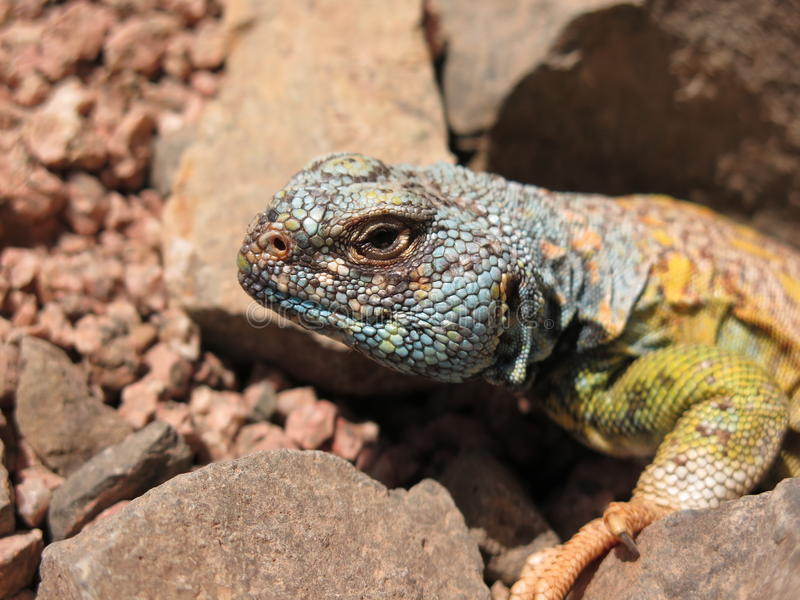 Close up of Uromastyx Ornata - ornate spiny tailed lizard. Between rocks in the South Sinai Desert, Egypt stock photography