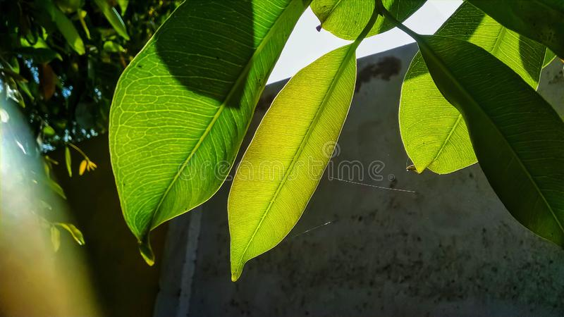 Close up of vains in a green leaf shining in light stock photo
