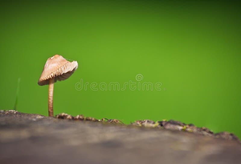 Close-up van één enkele wilde paddestoel royalty-vrije stock foto's