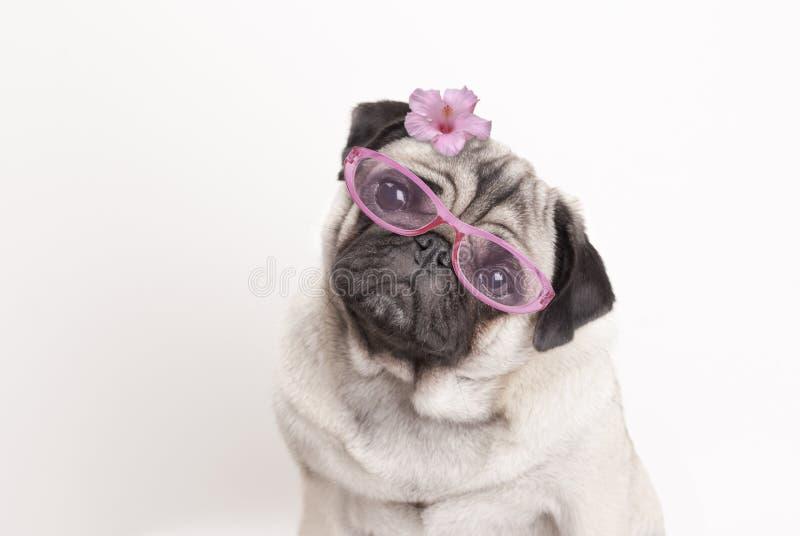 Close-up van aanbiddelijk leuk pug hondpuppy die roze glazen en bloem dragen stock foto's