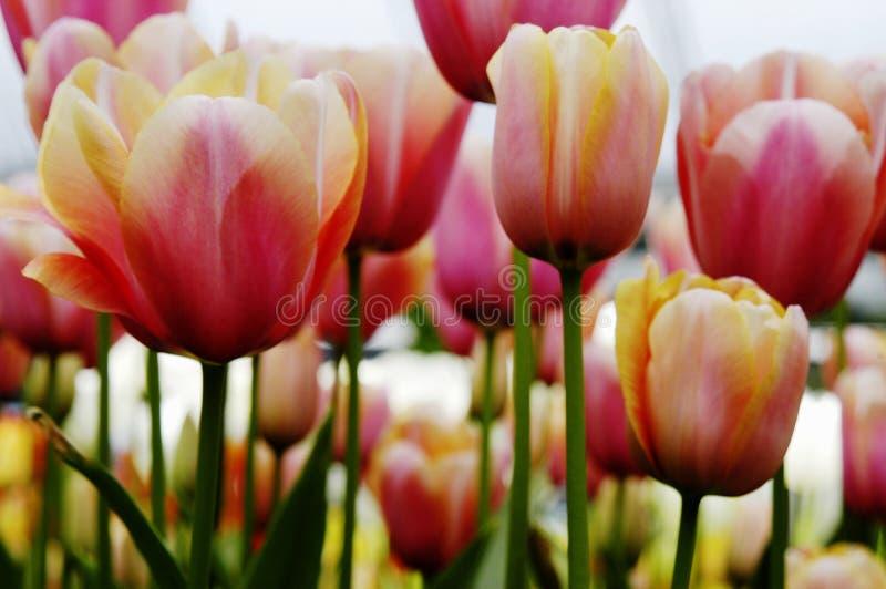 Close-up van abrikoos, roze, oranje en witte tulpen stock foto's