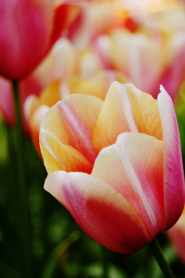Close-up van abrikoos, roze, oranje en witte tulpen royalty-vrije stock fotografie