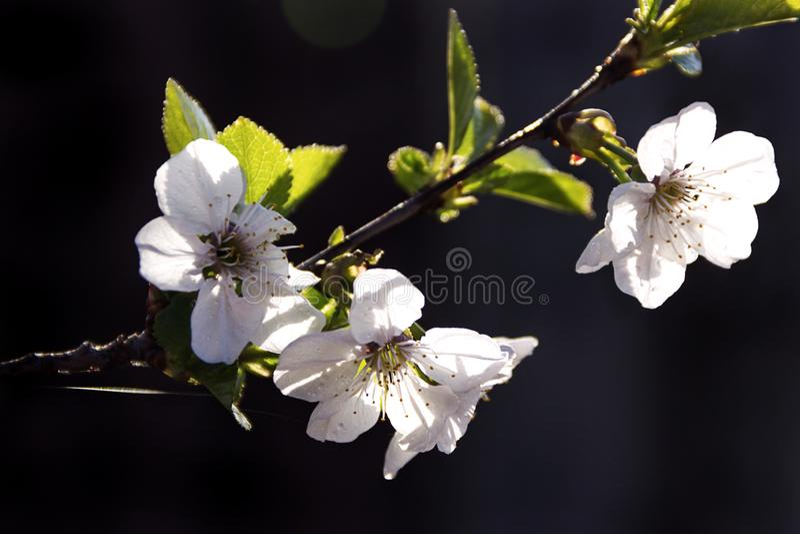 Close-up van achtergrond van de de bloemenlente van de appelboom de witte stock afbeeldingen