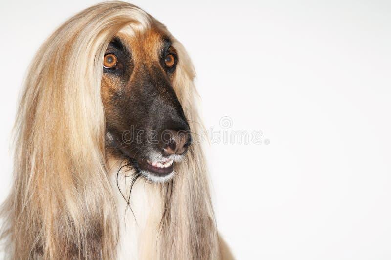 Close-up van Afghaanse Hond royalty-vrije stock foto