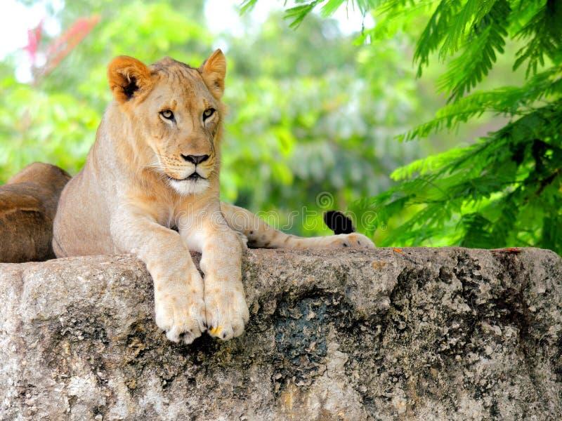 Close-up van Afrikaanse leeuwwelp royalty-vrije stock fotografie