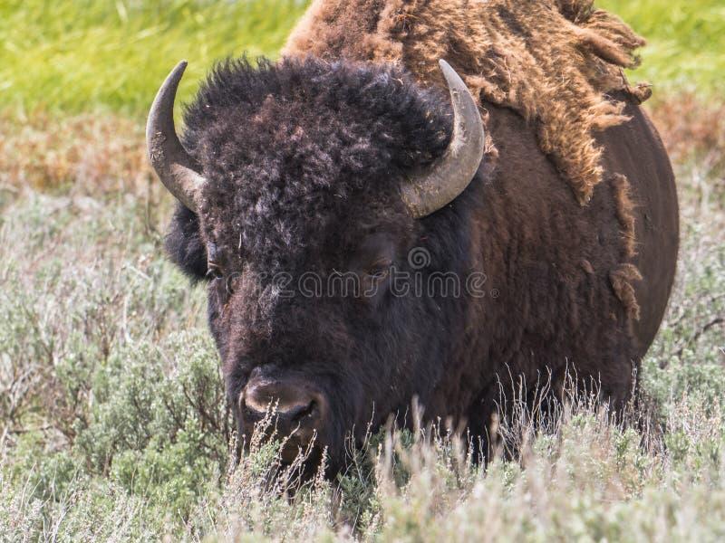 Close-up van Amerikaans Mannelijk Bison Bison Bison royalty-vrije stock fotografie