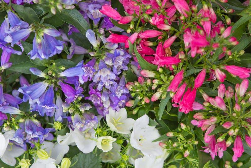 Close-up van beardtounges en bellflowers stock afbeeldingen