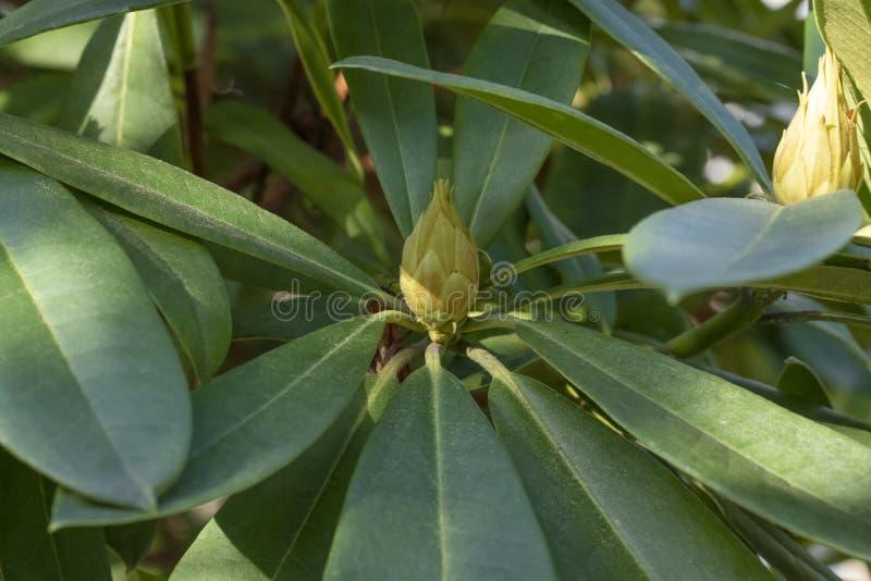 Close-up van bladeren en knoppen van eucalyptus stock foto