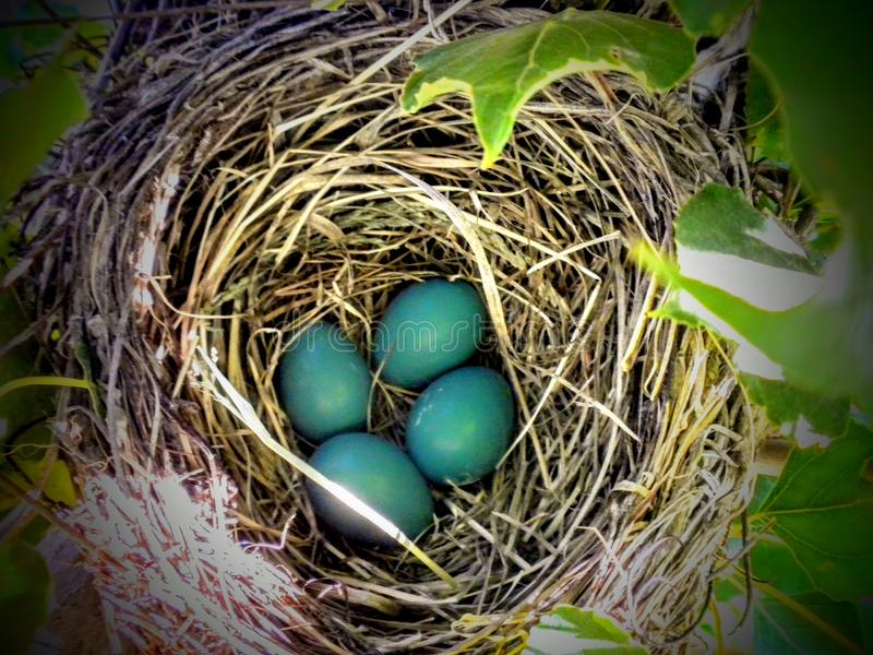 Close-up van Blauw Robin Eggs in een Nest in een Boom stock foto