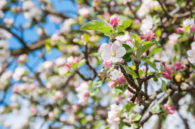 Close-up van bloeiende crabapple boom stock foto's