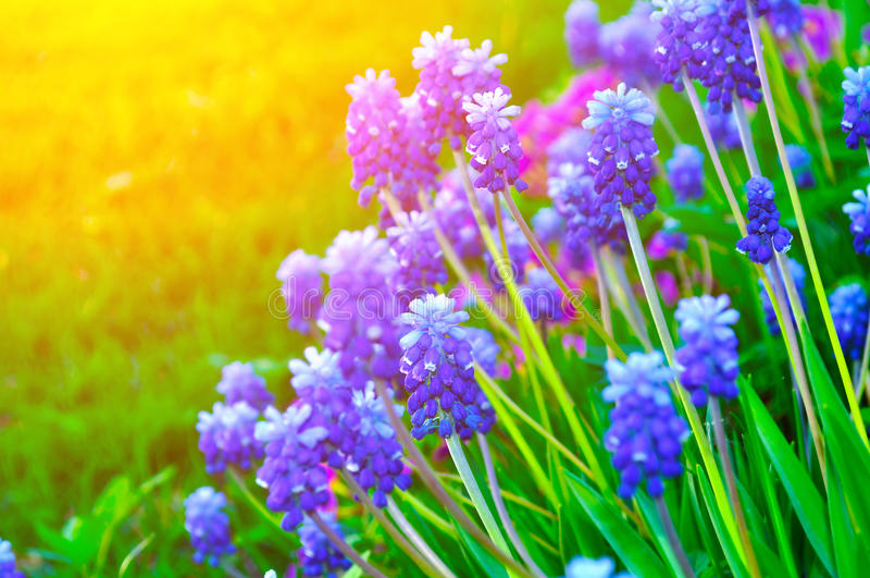 Close-up van bloeiende de lentebloemen - muscari stock fotografie
