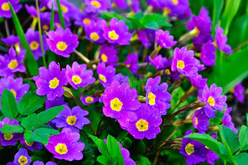 Close-up van bloeiende de lentebloemen - Primulajuliae stock fotografie