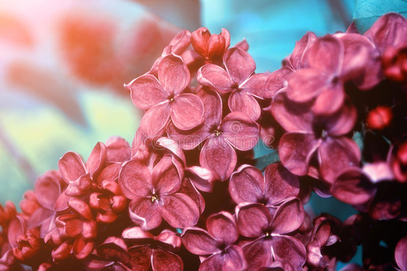 Close-up van bloeiende donkerrode lilac bloemen onder zacht licht - bloemen natuurlijke achtergrond stock afbeelding