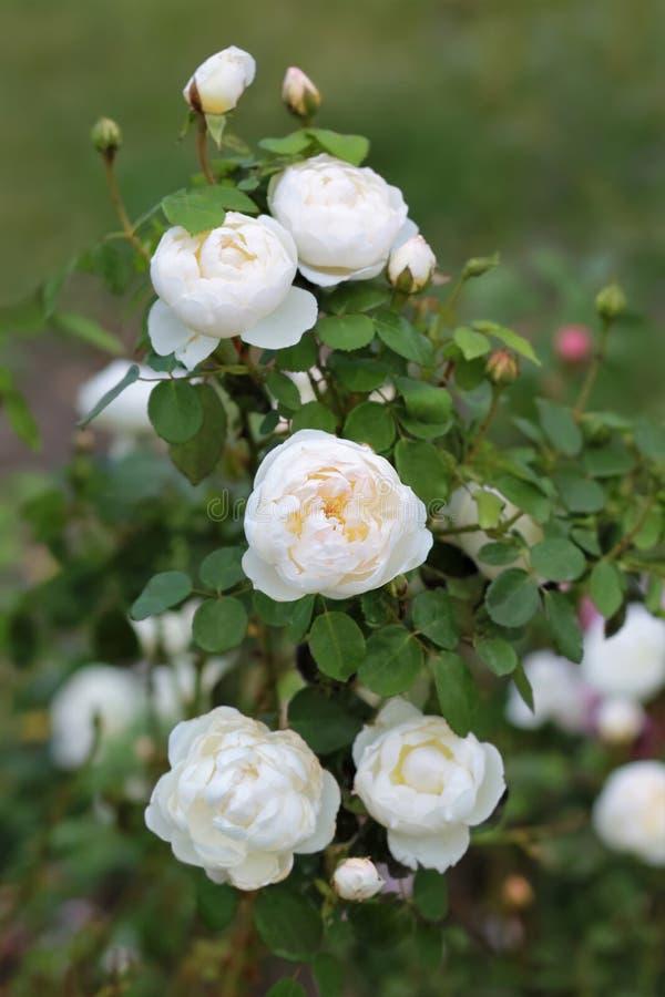 Close-up van bloeiende witte rozeachtige rozenstruik stock foto's