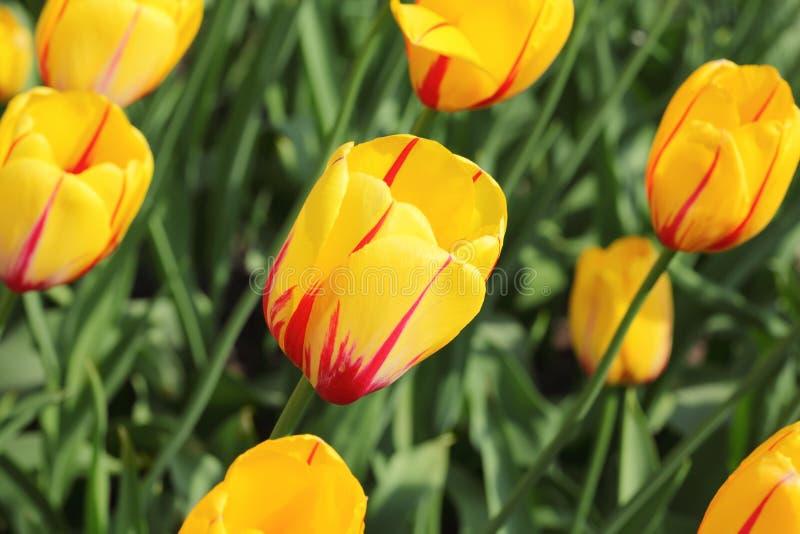 Close-up van bloembed met heldere gele tulpen royalty-vrije stock afbeeldingen