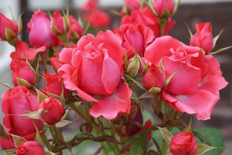 Close-up van bloemen en knoppen van een roze roze verscheidenheid stock foto's