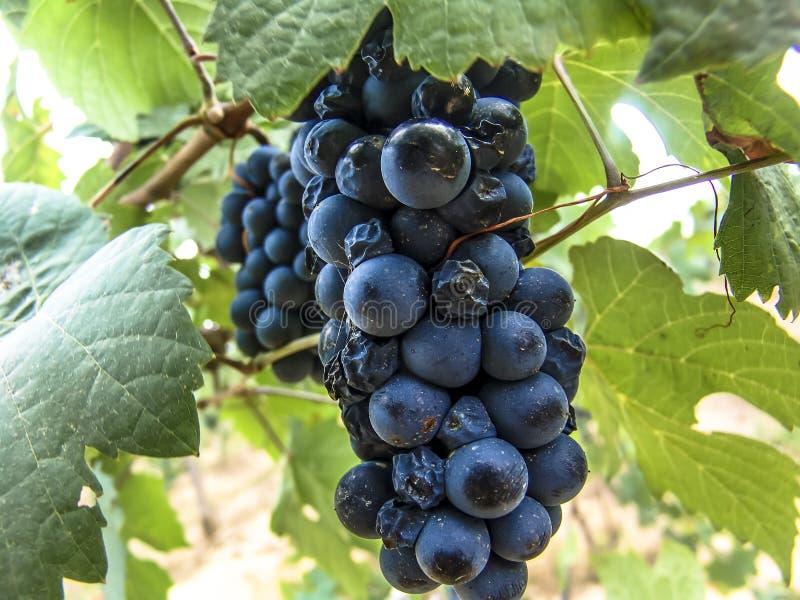 Close-up van bossen van rijpe rode wijndruiven op wijnstok met selectieve nadruk in São Francisco River Valley royalty-vrije stock foto's