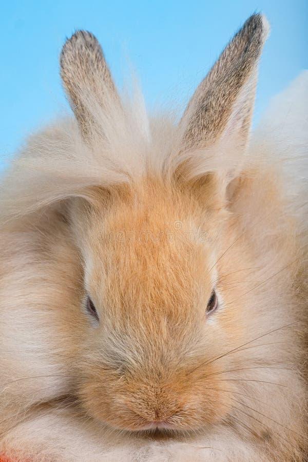 Close-up van bruin konijn royalty-vrije stock fotografie