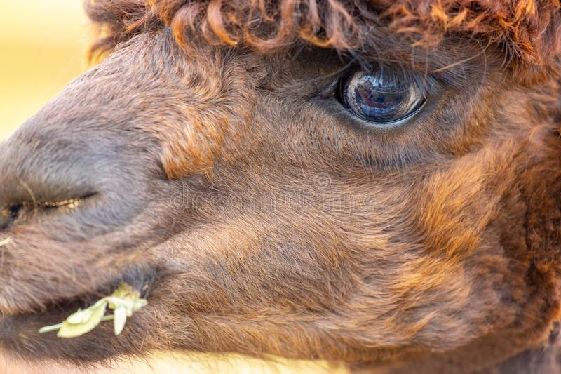 Close-up van bruine alpaca met voedsel in mond stock afbeeldingen