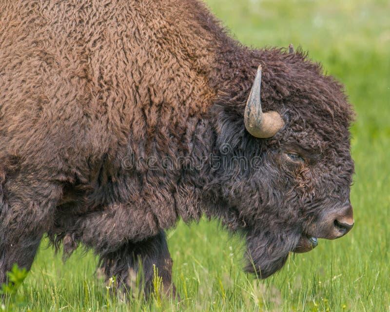 Close-up van buffels in Custer State Park in Zuid-Dakota royalty-vrije stock afbeeldingen