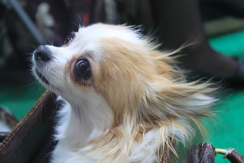 Close-up van Chihuahua stock foto's