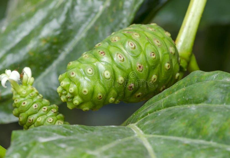 Close-up van citrifoliaboom van Noni of Morinda-en groen blad stock foto