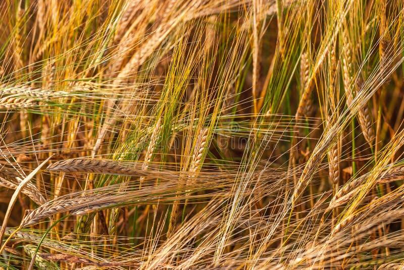 Close-up van cornfield stock afbeelding