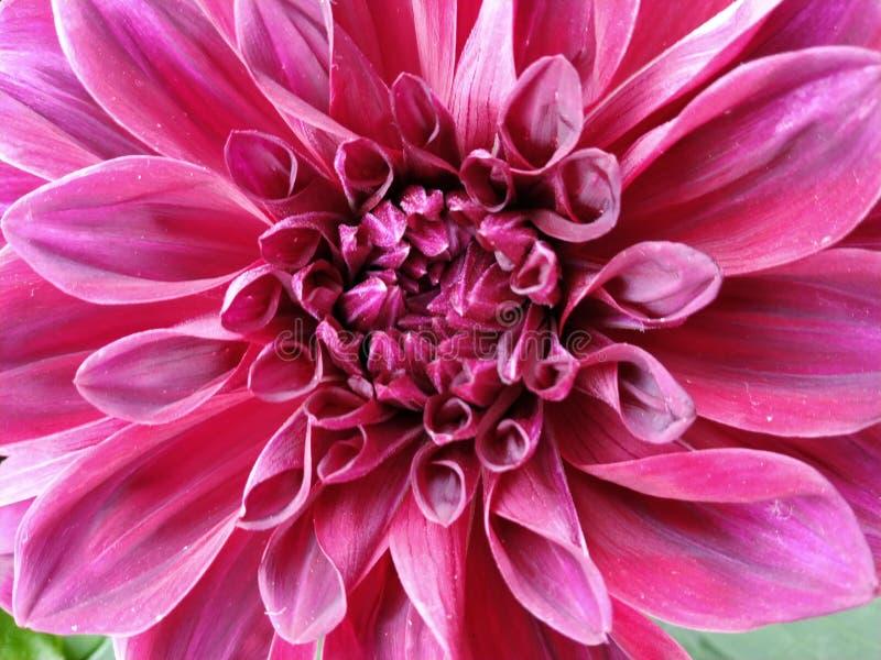Close-up van Dahlia Taboo Flower wordt geschoten die royalty-vrije stock foto