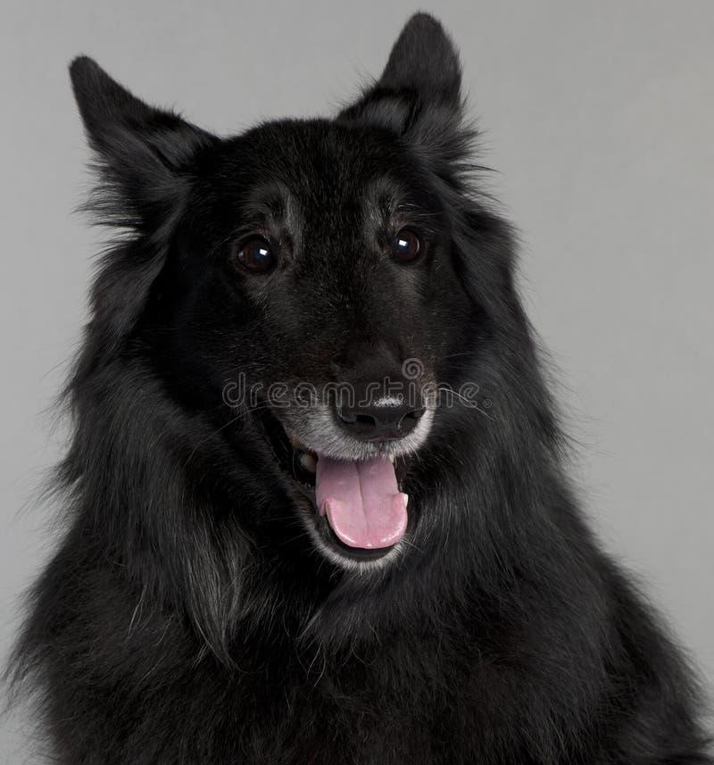 Close-up van de Belgische Hond van de Herder, Groenendael stock foto's