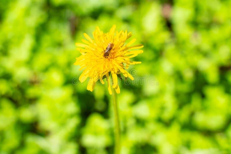 close-up van de bloem de gele paardebloem met mooie groene vage achtergrond royalty-vrije stock fotografie