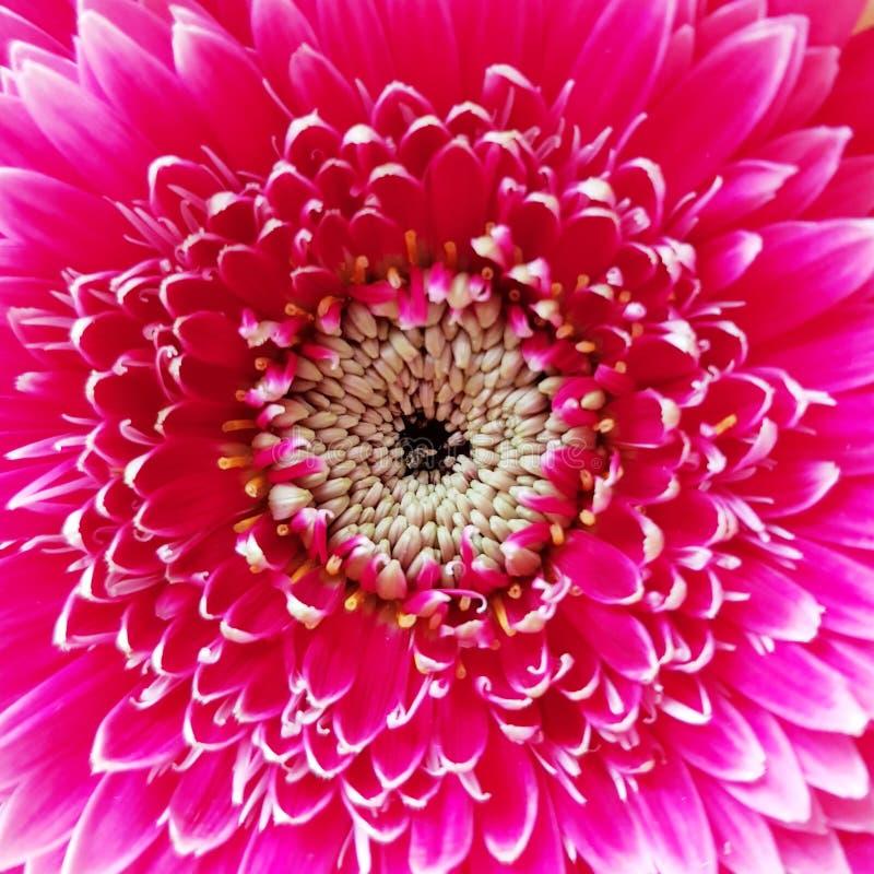 Close-up van de bloesem van de gerberabloem Roze bloem Gerbera stock fotografie