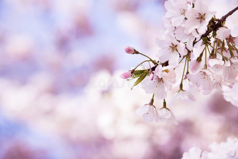 Close-up van de bloesems van de kersenboom in de lente stock afbeelding