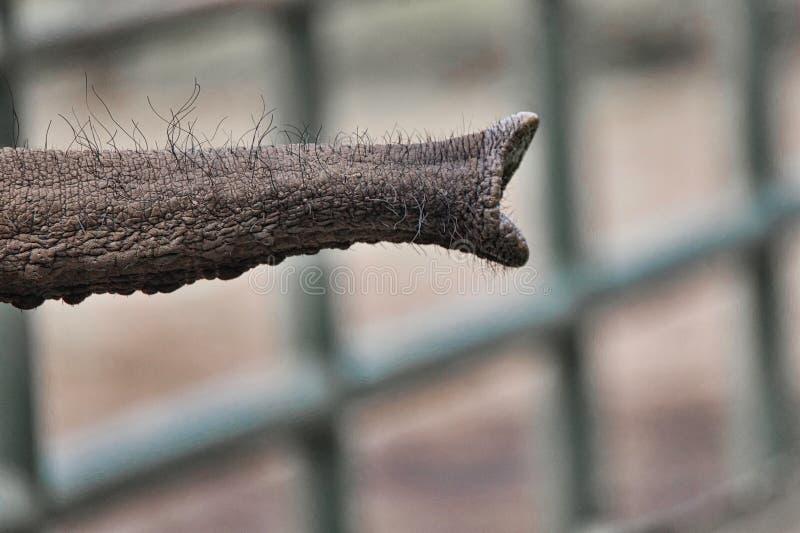 Close-up van de boomstam van een Afrikaanse die africana van olifantsloxodonta, tegen een vage achtergrond met bokeh, conceptenbe royalty-vrije stock fotografie