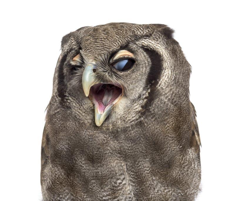 Close-up van de Eagle-uil van een Verreaux - Bubo-oude lacteus 3 jaar stock foto's