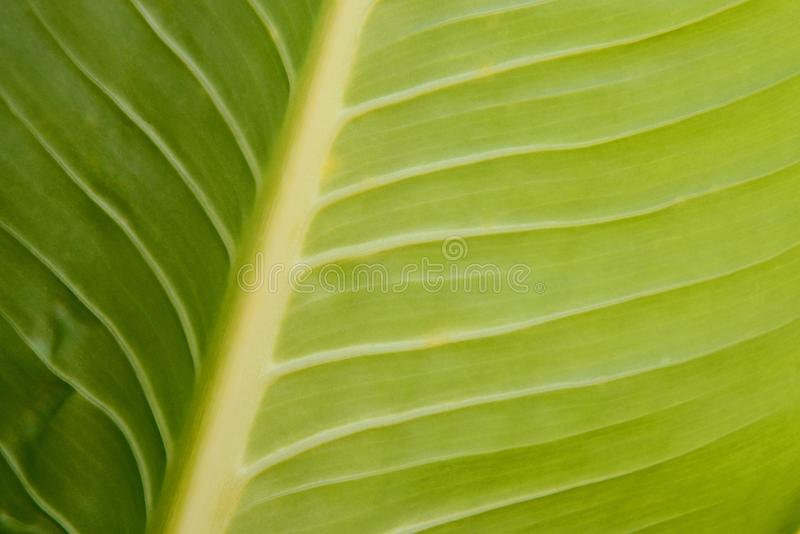 Close-up van de groene textuur van bladaders stock afbeeldingen