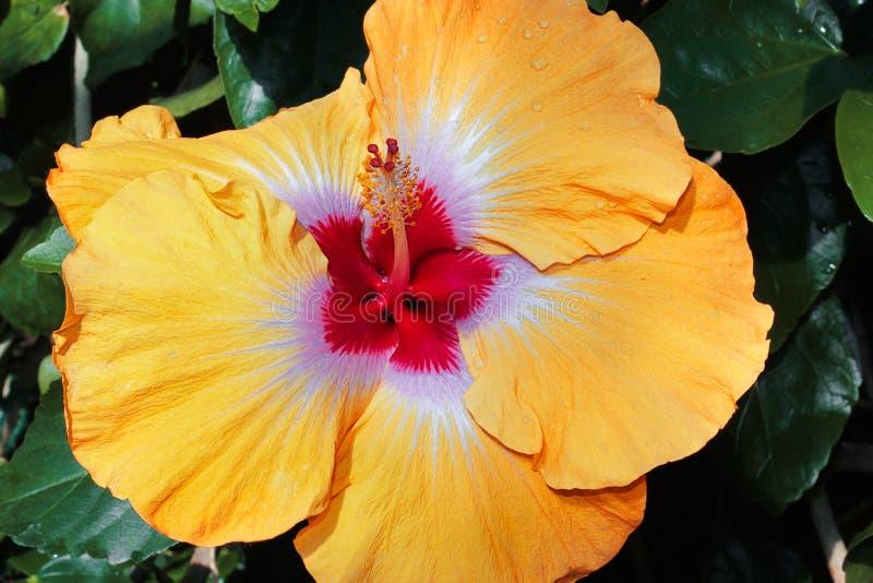 Close-up van de hibiscus de oranje bloem in tuin stock afbeelding