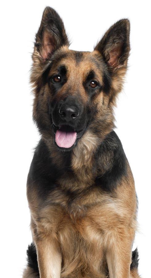 Close-up van de Hond van de Duitse herder, 2 jaar oud stock foto's