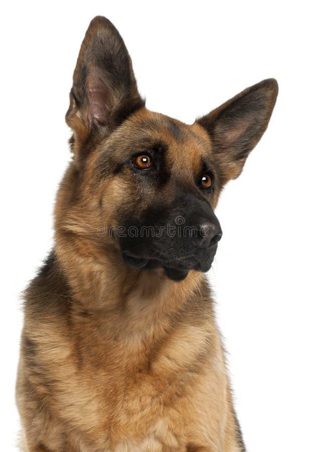 Close-up van de Hond van de Duitse herder, 4 jaar oud royalty-vrije stock afbeeldingen
