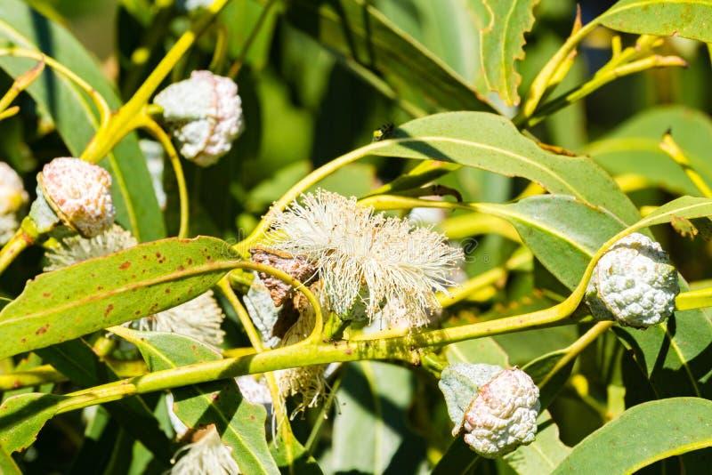 Close-up van de installatie van de Eucalyptusdiversifolia van zeepmallee, Californië stock foto