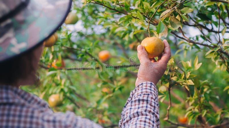Close-up van de landbouwer van de middenleeftijdsdame het oogsten sinaasappelen in landbouwbedrijf stock fotografie