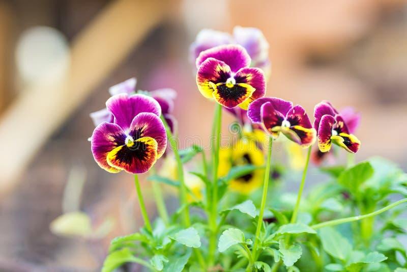 Close-up van de mooie bloemen van altviooltricolor bij bloembed dichtbij huis De trillende bloesem van het hart` s gemak in tuin  stock foto's
