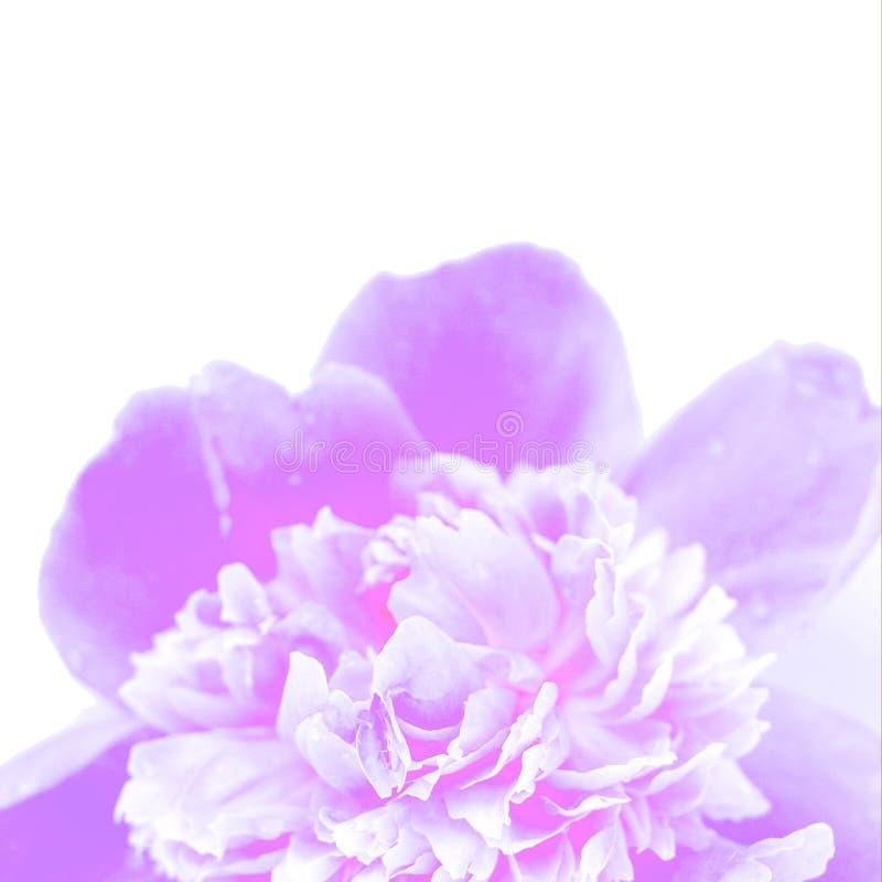 Close-up van de neon de purpere pioen op een witte achtergrond royalty-vrije stock foto